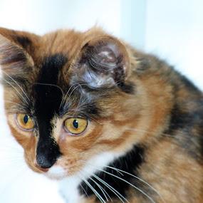 Pusi by Benny Høynes - Animals - Cats Portraits ( mjau, cat, portrait, pusi, animal )