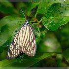 Cyclosia papilionaris 蝶形錦斑蛾