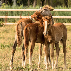 Camargue foals 1 by Helen Matten - Animals Horses ( playing, wild, foals, horses, camargue, white, brown )