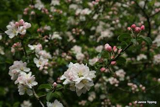 Photo: Apple blossom