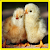 Chick Memory Game file APK Free for PC, smart TV Download