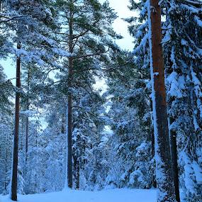 Snowpatterns by Juliusz Wilczynski - Landscapes Forests (  )