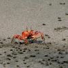 Cangrejo fantasma (Painted ghost crab)