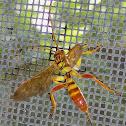 Ichneumon Wasp ♀