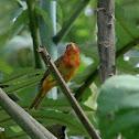 Piranga rubra migratoria juvenil ♂- Summer tanager
