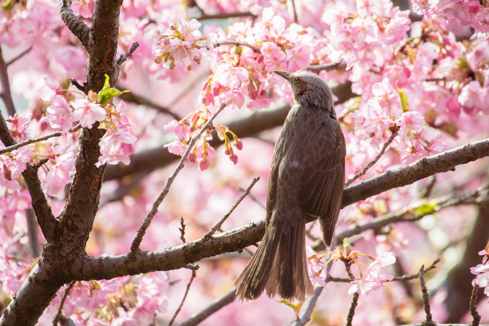 Photo: 桜色の輝き Cherry color brilliance.  陽が花びらを透かし 桜色の光が包み込む うっとりと 現を忘れる心地良きひととき  Kawazu cherry trees and Brown-eared Bulbul. (河津桜とヒヨドリ) #fujisakura #cooljapan #365cooljapanmay  #birdphotography #birds  #kawaii  Nikon D7100 SIGMA APO 50-500mm F5-6.3 DG OS HSM [ Day316, March 24th ]  小鳥の詩朗読 https://youtu.be/TpsSUlPACp4?list=PL2YtHGm0-R3qVsaqvQe9OYdJFCkI98wzF