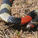 Amazonian Coral Snake