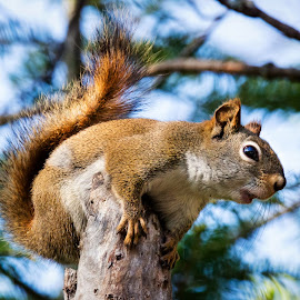Red Squirrel by Dave Lipchen - Animals Other Mammals ( red squirrel )
