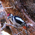 Great Spotted Woodpecker; Pico Picapinos