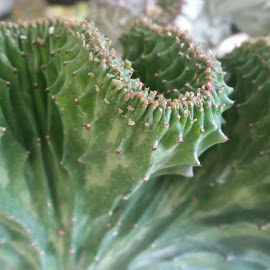Cactus plant  by Maricor Bayotas-Brizzi - Nature Up Close Other plants (  )