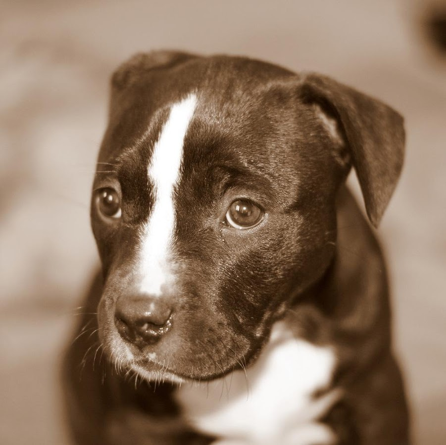 Pitbull Puppy Wallpapers Screenshot