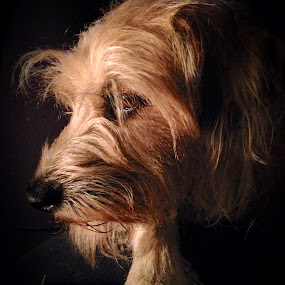 Our Baby by Susan Englert - Animals - Dogs Portraits ( dogs, precious, puppy, glow, dog, low lighting, portrait, soft glow,  )