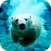Polar Bear Swims Video LWP