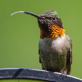 Raspberry by Lyle Gallup - Animals Birds ( bird, wild, animals, red, colorful, green, hummingbird, animal,  )