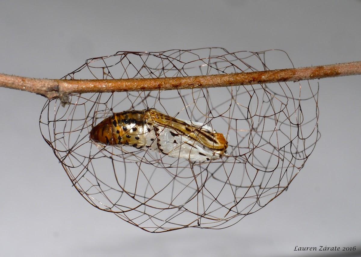 Pupal Basket of a Geometrid Moth