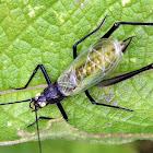 Black-horned Tree Cricket (Male)