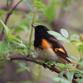 Red Start by Jenny Gandert - Animals Birds ( gandert, red start, bird, jenny gandert, warbler )