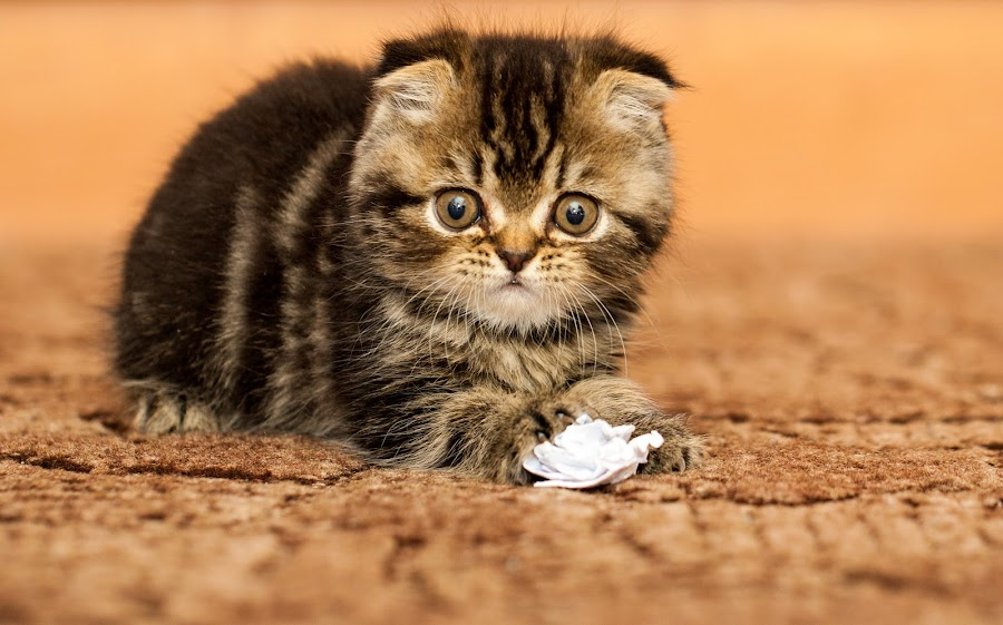 kitty by Yuriy Lagno - Animals - Cats Kittens ( cat, котенок, pussycat, kitty, pussy,  )