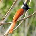 Indian paradise flycatcher- Female