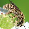 halictid furrow bee
