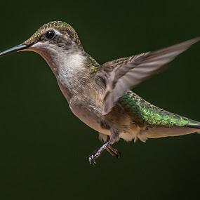 Hummingbird by Mike Watts - Animals Birds ( bird, hummingbird )
