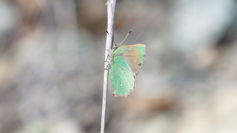 Photo: The Green Butterfly: so fleeting, so rare, caught on film.