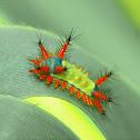 Limacodidae - Slug Moth Caterpillar