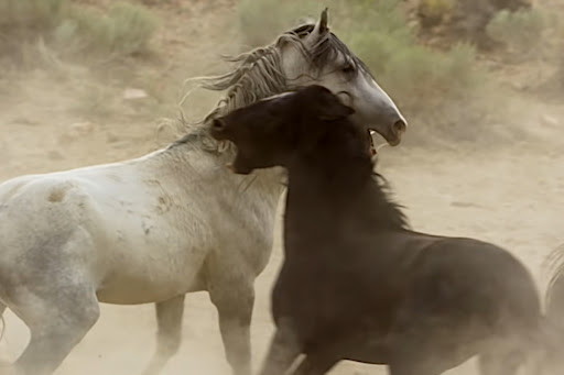 Two Wild Stallions Have Brutal Fight Over Water Hole and Mares