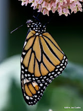 Photo: Newly hatched monarch