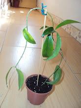 Photo: Hoya chlorantha