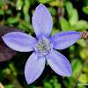 Small-leaved Trailing Bellflower