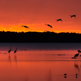 Sunset touch down by Joe Saladino - Animals Birds ( sandhill crane, bird, sunset, animal, water )