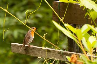 Photo: European Robin (Rotkehlchen); Stockholm, SE