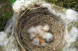 Photo: Mistle thrush nest 23 May 2015 © Updale Natural History Recorder 2015