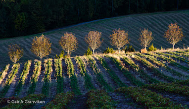 Photo: Autumn picture from the strawberry field, just before the sun sets behind a nearby hill