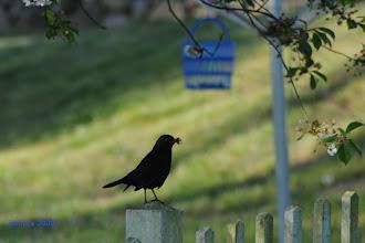 Photo: Amsel mit Beute  The early bird catches the worm. Der frühe Vogel fängt den Wurm.