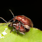 Flea beetles mating