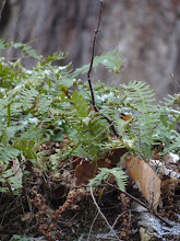 Photo: rock polypody (Polypodium virginianum)