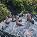 New Zealand Fur Seal / Antipodean fur seal / long-nosed fur seal / kekeno
