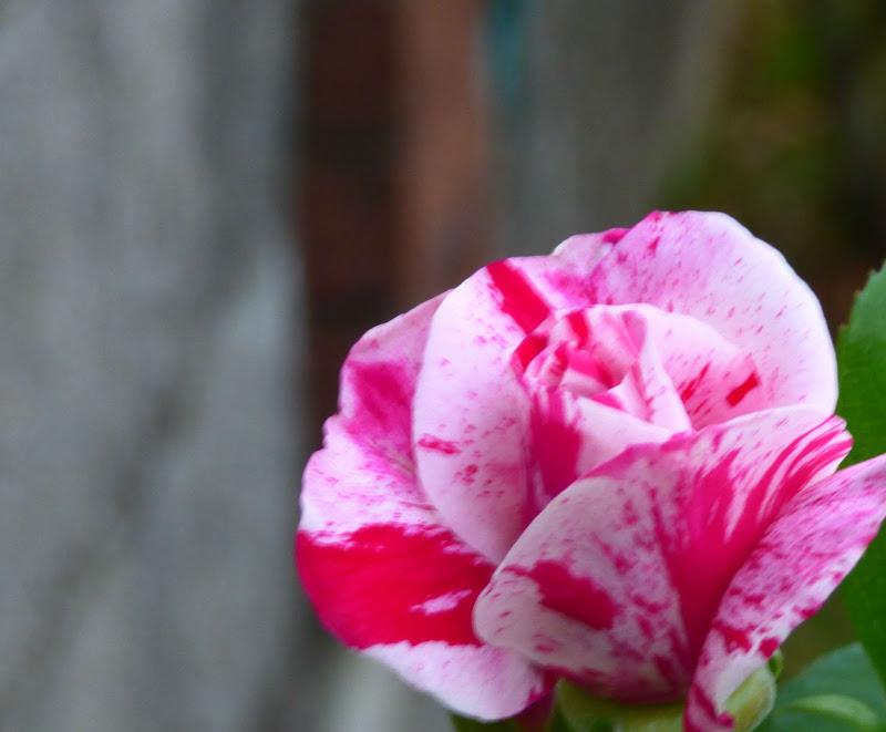 Rosa variegata di sarasphotography