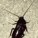 Female oriental  cockroach