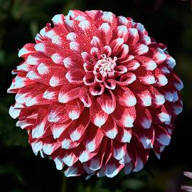 Dahlia 8602~ by Raphael RaCcoon - Flowers Single Flower