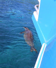 Photo: Endangered monk seal, which was attracted to the boat and its  passengers in Kealakekua Bay. We were warned  not to engage with it.