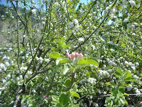 Photo: Ayazma Elma Çiçekleri