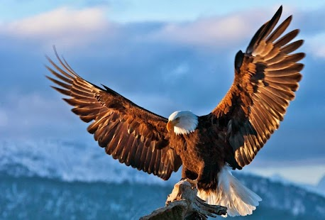 Eagle Wallpapers Android Apps On Google Play
