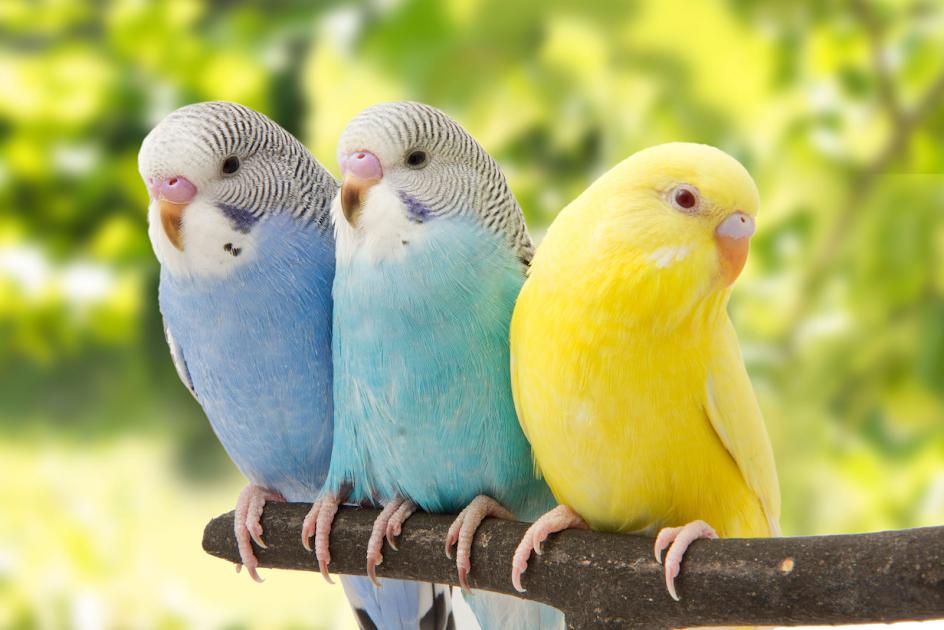De belles perruches dans un groupe