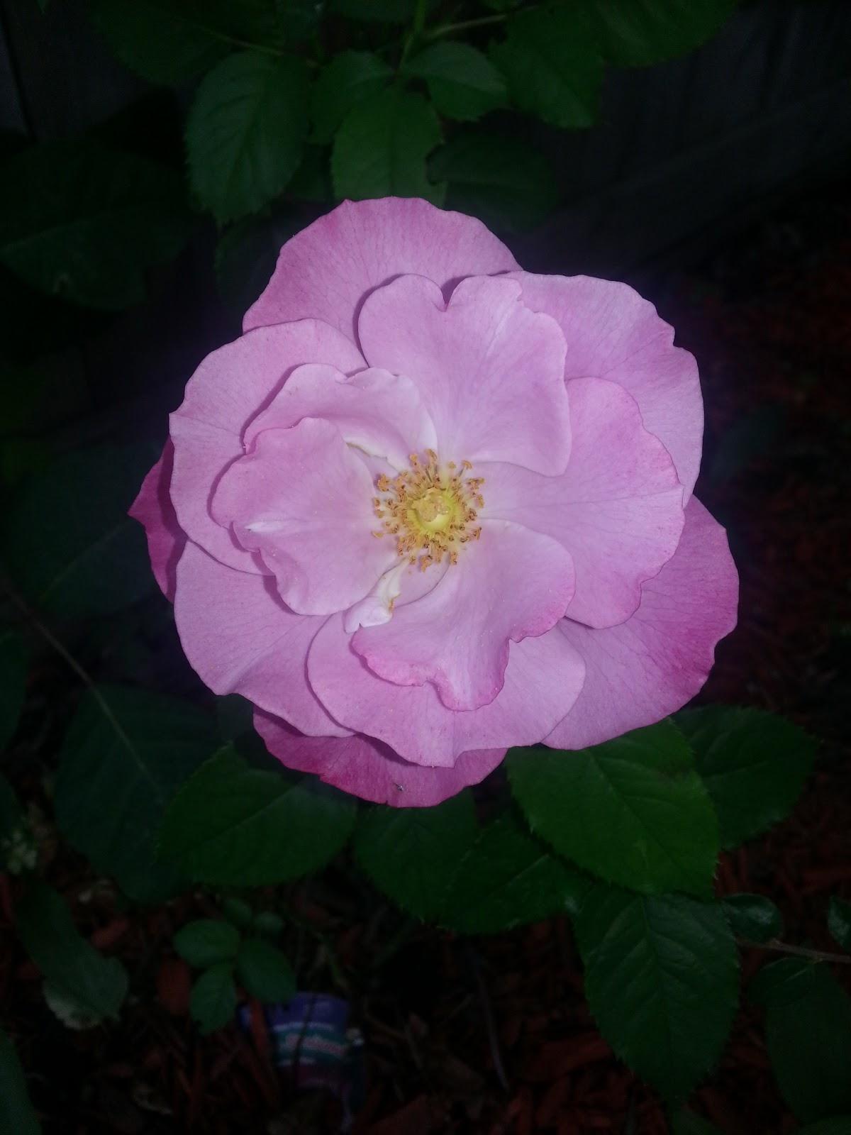 Barbra Streisand rose open image