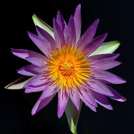 by Francois Wolfaardt - Flowers Single Flower