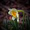 White Dafodil digital.jpg