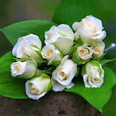 White Rose Live Wallpaper HD Android APK Download Free By Phoenix Live Wallpapers